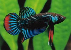Betta fish of a smoother fin variety.